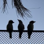 Local Kookaburras enjoy our course as much as our Members - Cammeray Golf Club